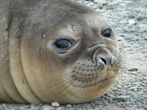 South Georgia Elephant Seal