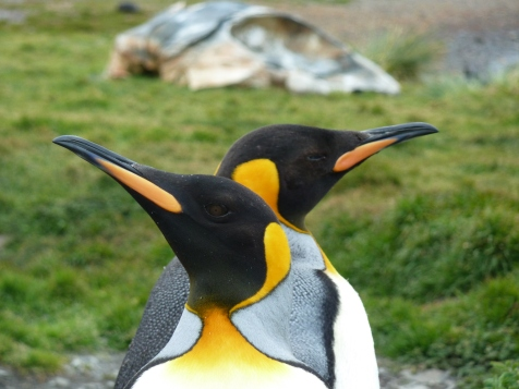 South Georgia King Penguins
